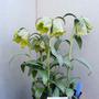 Fritillaria kotschyana 'Craigton Max'