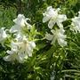 Lilies - Casablanca