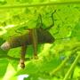 Grasshopper_2