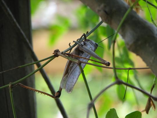 Garden visitor - grasshopper