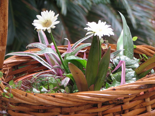 Courtyard basket (Gerbera jamesonii)