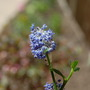 A garden flower photo (Ceanothus thyrsiflorus)