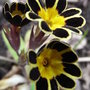 Primula_gold_laced_group