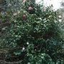 Camellia japonica 'Marguerite Guillon' (Camellia japonica 'Marguerite Guillon')