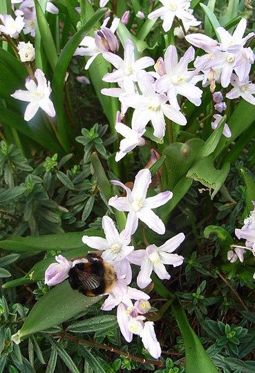 Chionodoxa luciliae 'Pink Giant' (Chionodoxa luciliae 'Pink Giant')