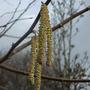 Corylus avellana 'Aurea' (Corylus avellana 'Aurea')