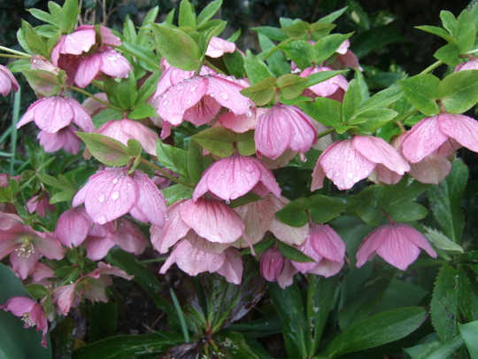 Helleborus orientalis (Helleborus orientalis (Lenten rose))