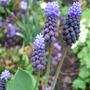 Muscari latifolium (Muscari latifolium)