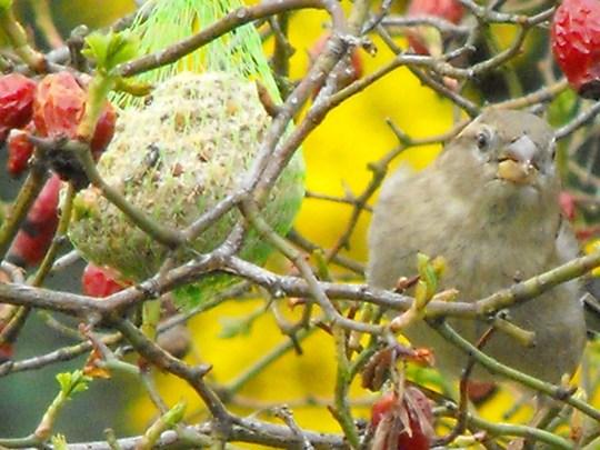 Sparrow feeling peckish