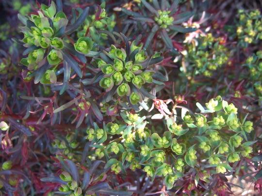 Euphorbia re-appearing. (Euphorbia cyparissias (Cypress Spurge))