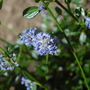 From Above (Ceanothus thyrsiflorus)
