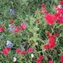 Red wildflowers - Drummond phlox.