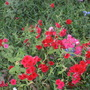 Red wildflowers 2.