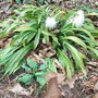 Ypsilandra_thibetica_1.jpg (Ypsilandra thibetica)