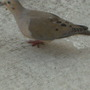 Close-up attempt at the dove.