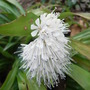 Ypsilandra_thibetica_2