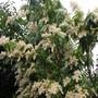 Pieris_japonica
