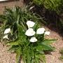 My beautiful arum lily