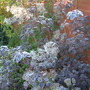 Frost on Cotinus coggygria