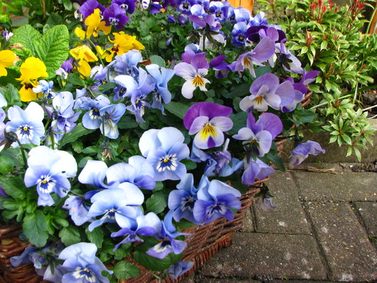 Violas. (Viola x wittrockiana)