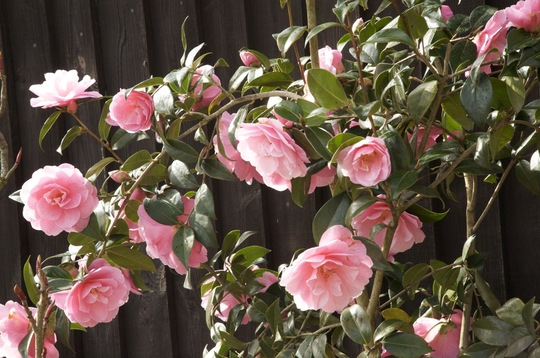 Camellias - 28 March