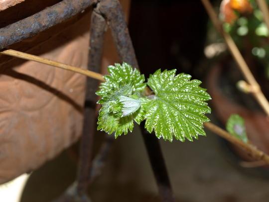New grape leaves