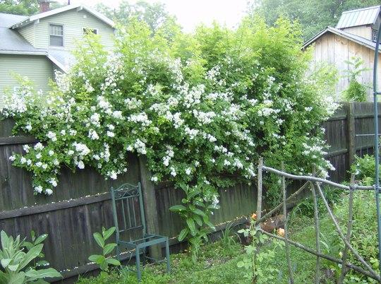 Wild Rosebush