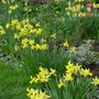 Daffodil - main group (narcissus)