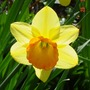 Daffodil_with_the_sun_behind_it