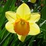 Daffodil close-up (narcissus)