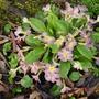 unusual primrose (primula vulgaris)
