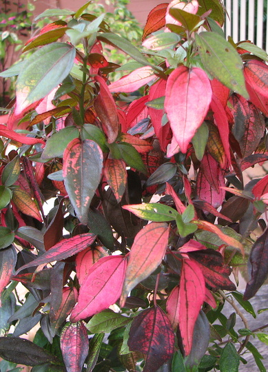 Acalypha inferno (Acalypha wilkesiana 'Java White')