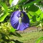 Butterfly pea (Clitoria ternatea (Blue Pea))