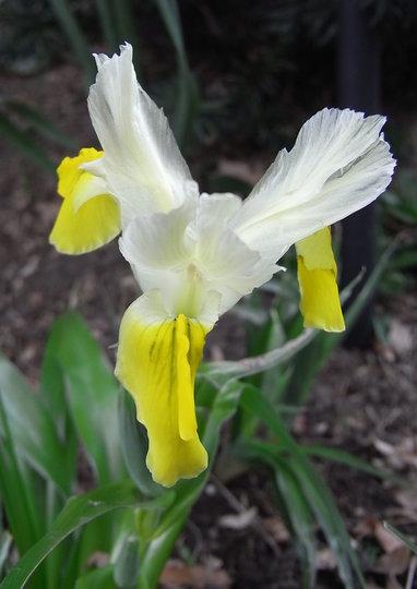 Iris bucharica - 2009 (Iris bucharica (Iris))