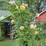Autum Sunset Rose