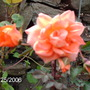 orange bridge of sies rose