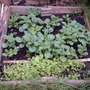 Last years vegetable plot