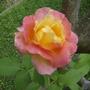 Rose - Joseph's Coat