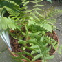 soft shield fern (dryopteris affinis)