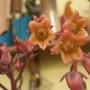 echivera flowers