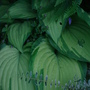 Green stripe hosta grown beneath apple tree. (Hosta)