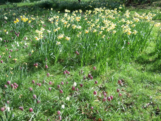 Narcissi andFritillaries.