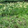 3._narcissi_fritillaries