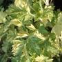 Artemisia vulgaris 'Oriental Limelight' (Artemisia vulgaris)