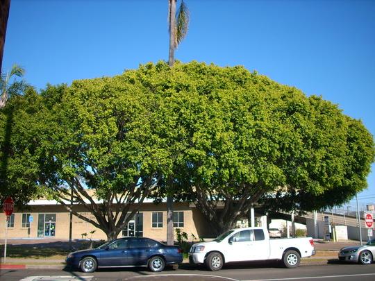 Ficus Benjamina Weeping Fig Grows On You