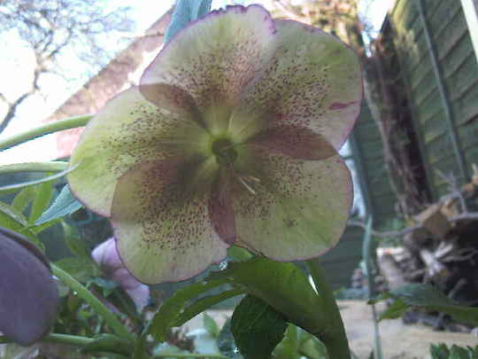 Hellebore (Cephalanthera longifolia (Sword Leaved Helleborine))