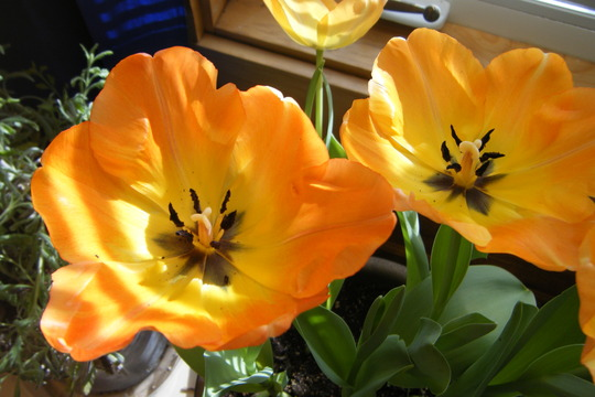 Tulips today (Tulipa humilis (Tulip))