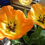 2009_0329marchtulips0027
