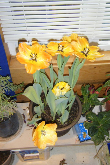 Tulips in a pot (Tulipa humilis (Tulip))