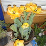 2009_0329marchtulips0023